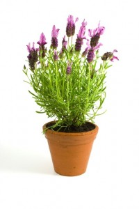 lavender-1727_640
